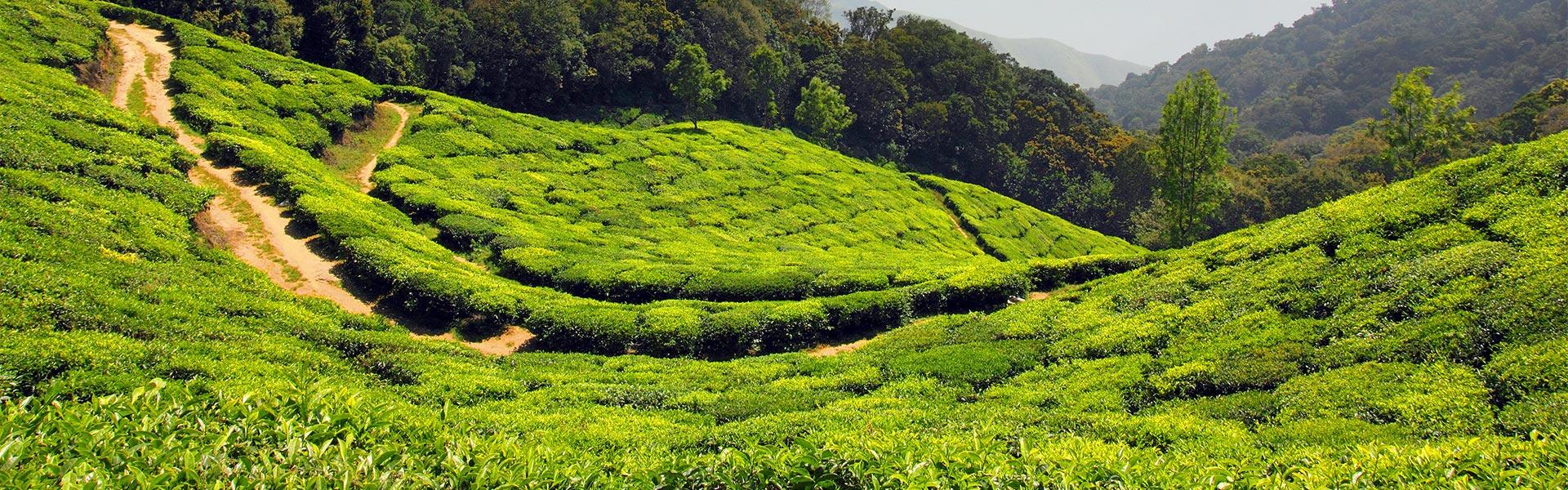 Čajovníkové plantáže